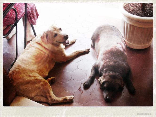 Raissa (dourada) e Brunella (chocolate), já na casa de minha avó